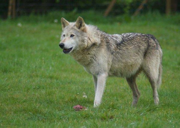 La présence d'un loup suspectée dans la forêt de Lyons en Normandie