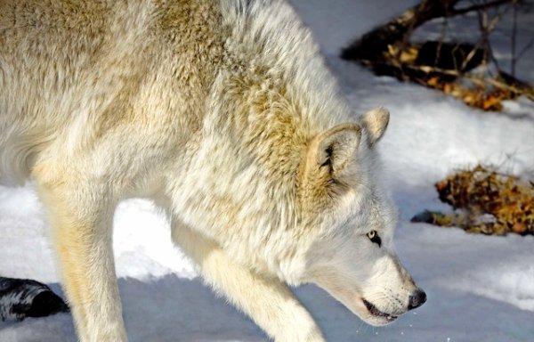 Un loup avance avec prudence !!!