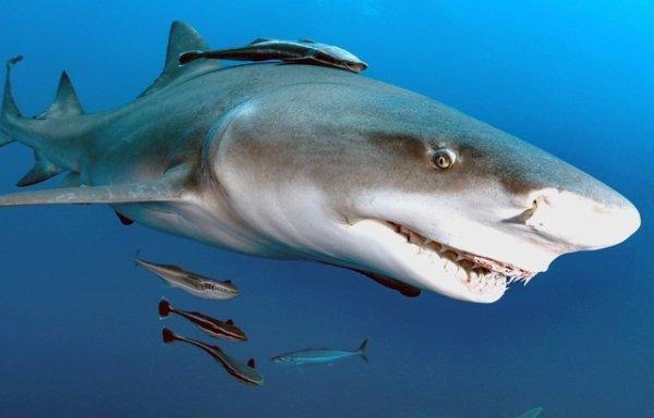 Un requin avec des poissons pilote