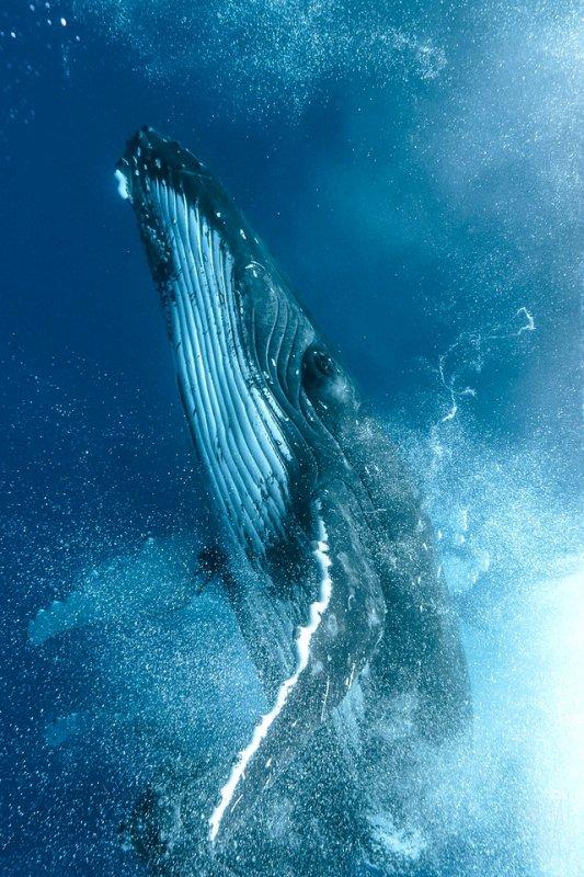 Une remontée d'une baleine