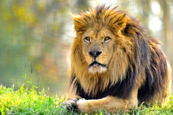 Le roi des animaux majestueux