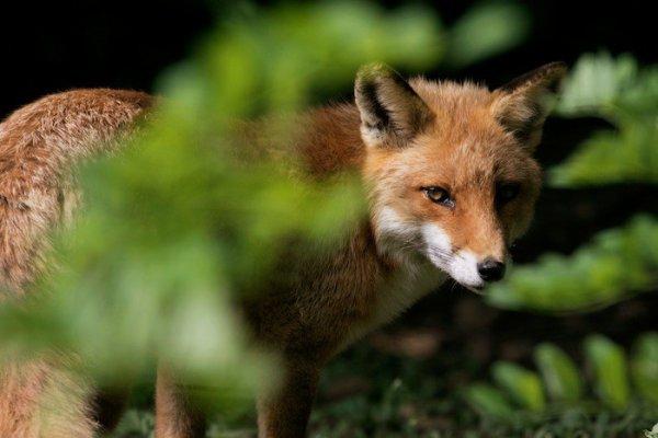 Un renard cacher derrière la végétation
