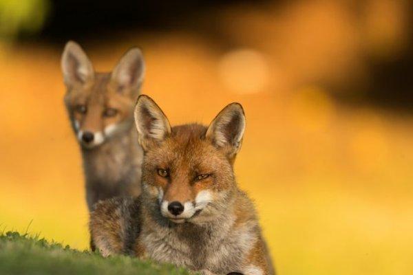 Deux renards près à réagir pour...