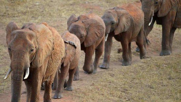 Des éléphants qui se suivent les uns les autres