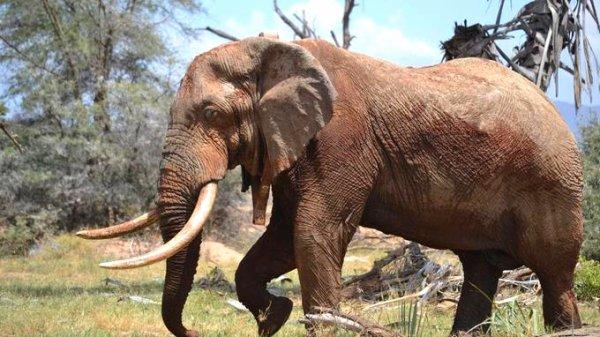 Un éléphant dans la savane