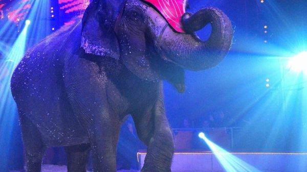 La chasse aux animaux de cirque