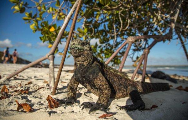 Un iguane se prélasse sur une place de l'île de Santa Cruz au Galapagos