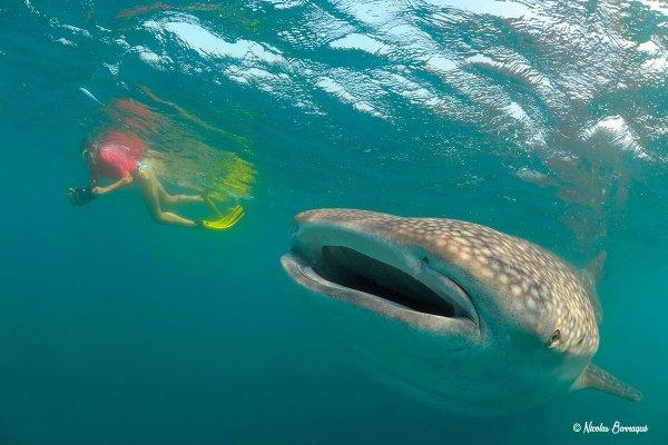 Un requin baleine près d'une nageuse