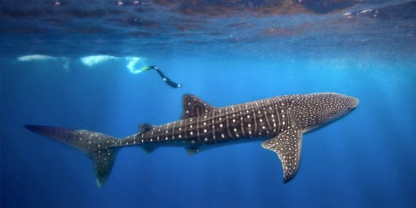 De magnifiques requins baleine (1/3)