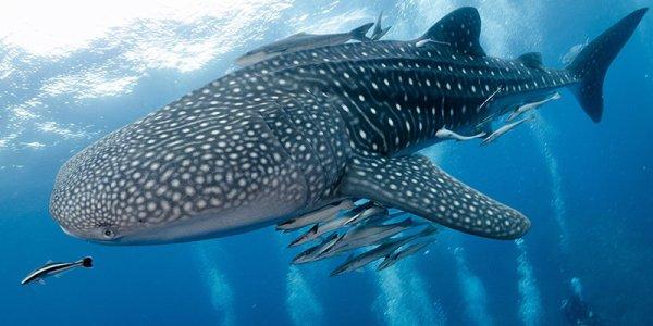 De magnifiques requins baleine (3/3)