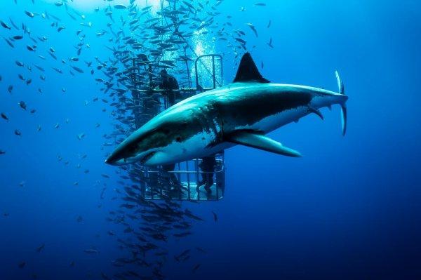 Le grand requin blanc dans son milieu naturel (1/2)