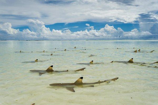 Des requins de partout, mais ceux là sont inoffensif
