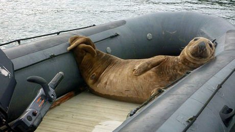 Une otarie qui se repose dans un bateau