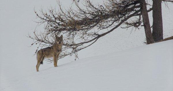 Un loup qui fixe le photographe
