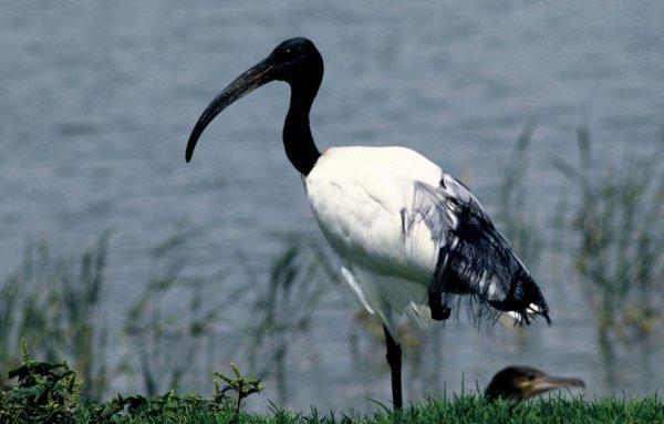 Un ibis sacré au bord de l'eau