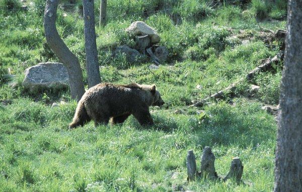 Un ours brun des Pyrénées