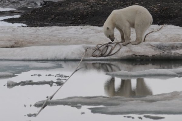 Un ours polaire (1/2)