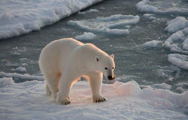 Un ours polaire (2/2)