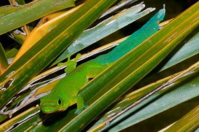 Phelsuma serraticauda - iguane vert et autre lezards