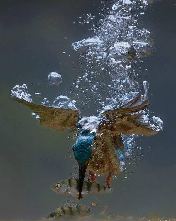 Martin pècheur qui attrape un poisson sous l'eau.
