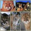 Puma ou Cougar :