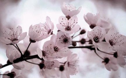 Cerisier du Japon!