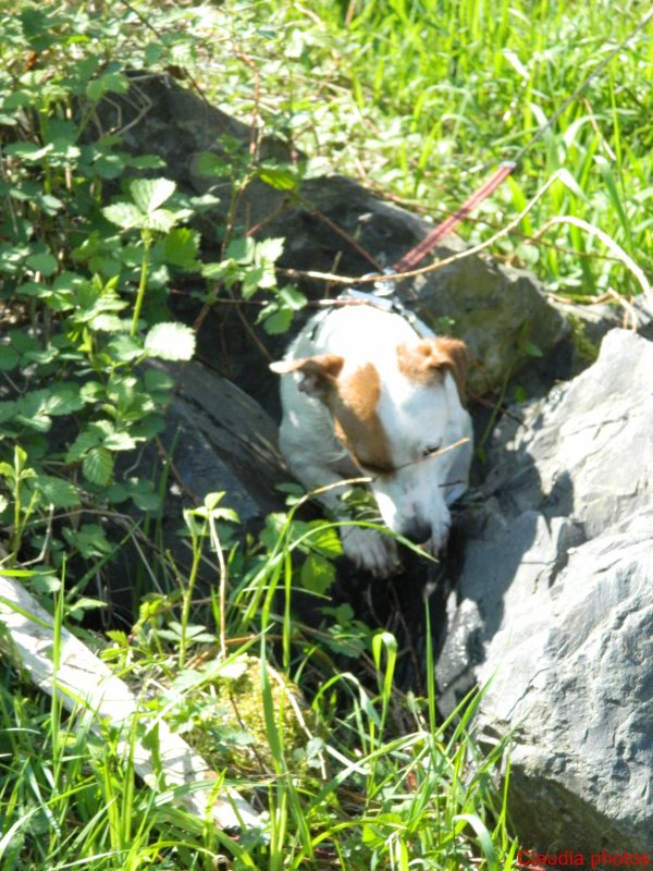 Fripouille TOP MODEL, Jack Russel