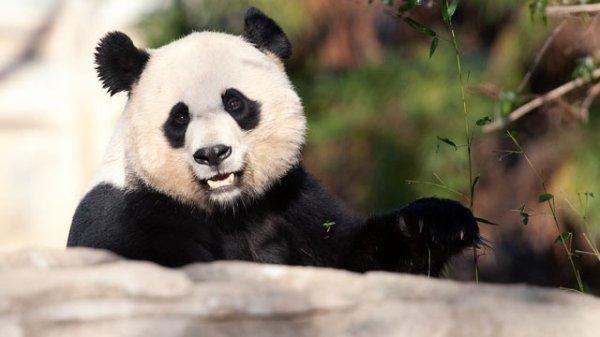 Panda racaille