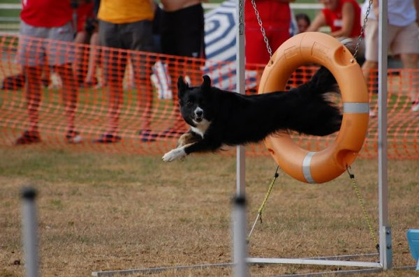 j'aime la race border collie***