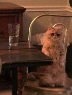 Voici George, le chat qui préfère rester debout
