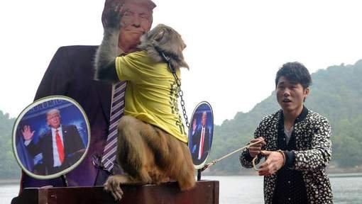 Un singe prédit la victoire de Trump à la présidentielle