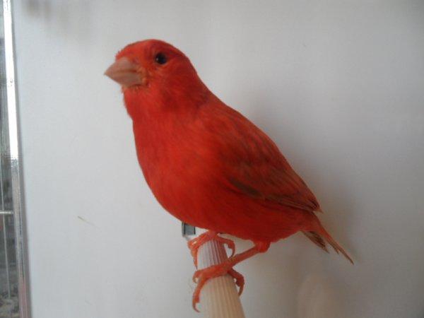 isabella rosso intenso  riproduttore per il 2011