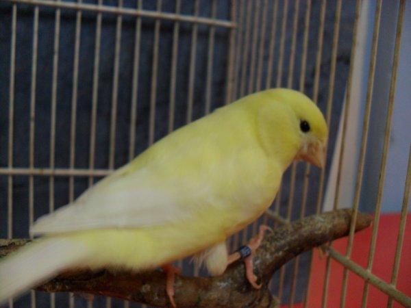 giallo avorio intenso ali bianche 2011