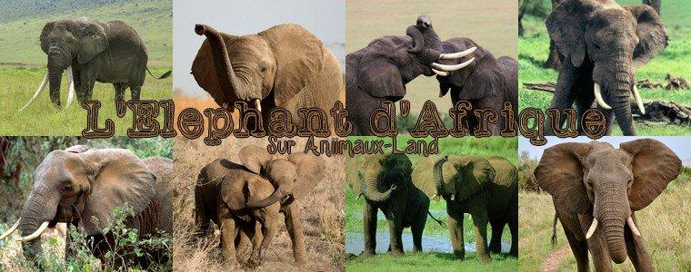 Article N°15__L'éléphant d'afrique__Sur Aniimaux-land.skyrock.com