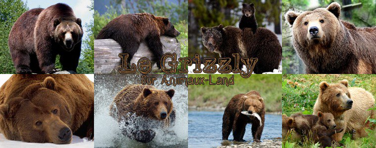 Article N°19__Le grizzly__Sur Aniimaux-land.skyrock.com