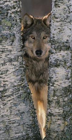 La fille aux loups