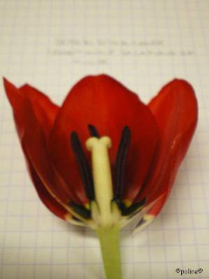 tulipe coupe