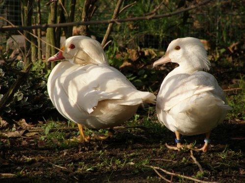 Carolin blanc