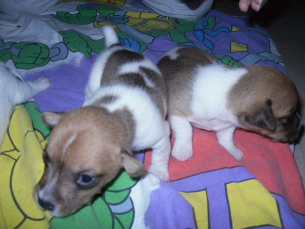 chiot jack russell