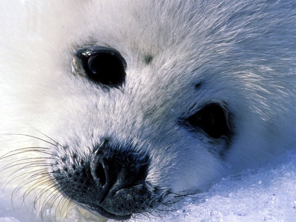 Depuis 2003 l'année de reprise intenpestive de la chasse aux phoques au Canada,près de 1 million de phoques on déjà péris sous les coups des chasseurs!