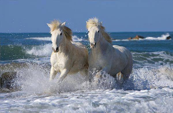 trop beau ces chevaux camarguais