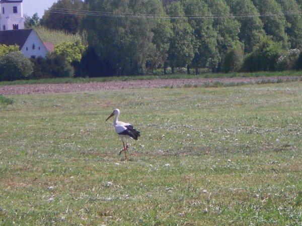 ah!!! nos belles cigognes d'Alsace