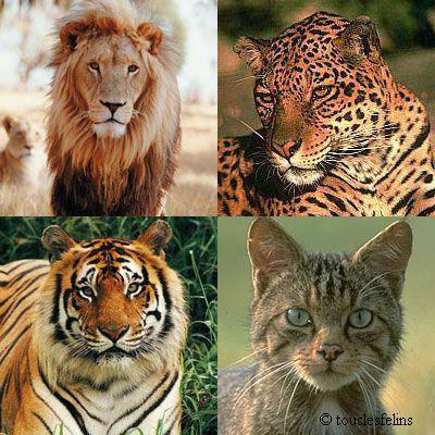 Tigre lion chat et l opard blog de felins - Images de lions a imprimer ...