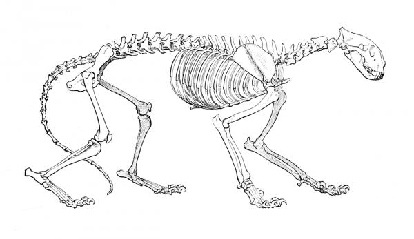 L'anatomie féline.