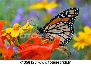papillon    éphémère   qui ne vie q'un    jour