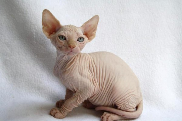 Chatterie  Skin'Kat Styles SPHYNX / Skin'Kat Styles French SPHYNX Cattery