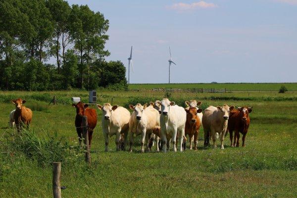 Herkingen Pays-Bas Vaches.