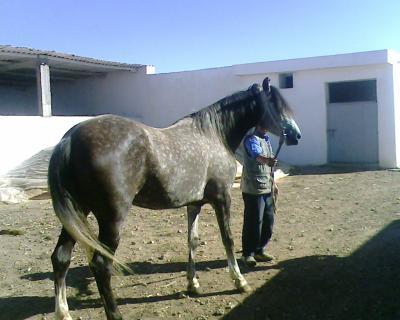 cheval arabe a vendre au maroc