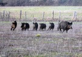 sanglier chasse dans le 86              2011