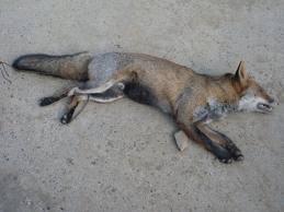 battue au renard 2011